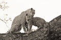 Leopard and cub Royalty Free Stock Photo