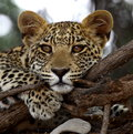 Leopard Cub Royalty Free Stock Photo