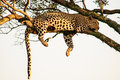 Leopard dangling from a tree in a typical pose Royalty Free Stock Photo