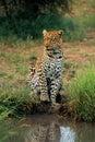 Leopard, der am Bewässerungsloch wartet Lizenzfreies Stockbild