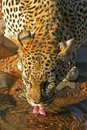 Leopard drinking water Royalty Free Stock Images
