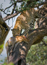 Leopard eating impala Stock Images