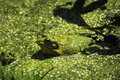 Leopard Frog Stock Photos