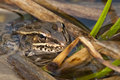 Leopard frog Royalty Free Stock Photography