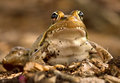 Leopard frog close-up Stock Photos