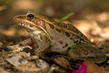 Leopard frog close-up Stock Photo