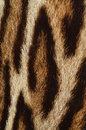 Leopard fur detail closeup of spotted of Royalty Free Stock Images