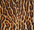 Leopard fur texture background of real Royalty Free Stock Photos