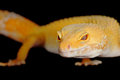 Leopard gecko a on a black background Royalty Free Stock Images