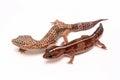 Leopard gecko on white eublepharis macularius isolated background Royalty Free Stock Photography