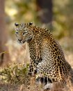 Leopard on hunt Royalty Free Stock Photo