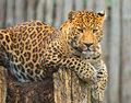 Leopard in its natural habitat Royalty Free Stock Photo
