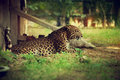 Leopard or jaguar indian sitting shadow and looking something Royalty Free Stock Photos