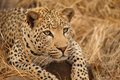 Leopard in Kruger National Park Royalty Free Stock Photo