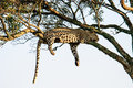 Leopard lazing in a tree Royalty Free Stock Photo