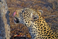 Leopard licking Royalty Free Stock Photo