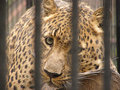 Leopard looks of cells carefully in the zoo Royalty Free Stock Photos