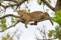 Leopard Lying On Branch Royalty Free Stock Photo