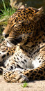 Leopard lying in the sun Royalty Free Stock Images
