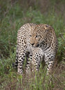 Leopard male standing in green grass Stock Images