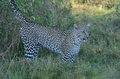Leopard Marking in the Shadows Tom Wurl Royalty Free Stock Photo