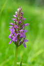 Leopard marsh orchid wild in nature Royalty Free Stock Photos