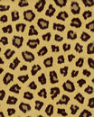 Leopard medium spots short fur Royalty Free Stock Photography