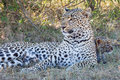 Leopard Mom with Leopard Cub Royalty Free Stock Photo