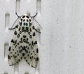 Leopard Moth Stock Photo