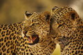 Leopard Mother and Cub Royalty Free Stock Photo