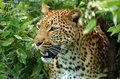 Leopard panthera pardus close up in kruger national park south africa Royalty Free Stock Photo