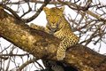 Leopard panthera pardus in kruger national park south africa Stock Images