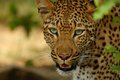 Leopard panthera pardus in kruger national park south africa Stock Photo