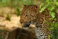Leopard panthera pardus in kruger national park south africa Royalty Free Stock Image