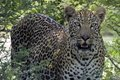 Leopard panthera pardus in kruger national park south africa Stock Photography