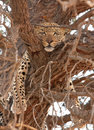 Leopard (Panthera pardus) lying on the tree Royalty Free Stock Image