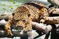 Wild animal. Feline. Leopard