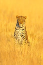 Leopard, Panthera pardus shortidgei, hidden portrait in the nice yellow grass. Big wild cat in the nature habitat: Sunny day in th Royalty Free Stock Photo