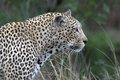 Leopard panthera pardus walking in kruger national park south africa Stock Photo