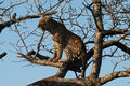 Leopard perches in a tree Royalty Free Stock Images