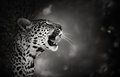 Leopard portrait artistic processing kruger national park south africa Royalty Free Stock Images