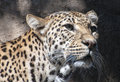 Leopard portrait of a hunting for food Stock Image