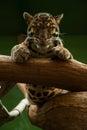 Leopard in praha zoo sleeping Stock Photography