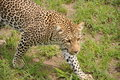 Leopard on the prowl Royalty Free Stock Photo