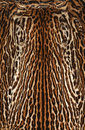 Leopard real fur texture background of Stock Images