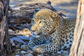 Leopard relaxing in the shade in Namibia, Africa Royalty Free Stock Photo