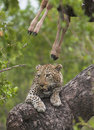 Leopard rest Royalty Free Stock Images