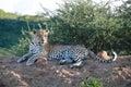 Leopard resting Stock Image