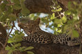 Leopard resting on a branch in the Ruaha national park. Royalty Free Stock Photo