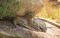 A leopard resting in the shadow of a big rock in the Serengeti n Royalty Free Stock Photo